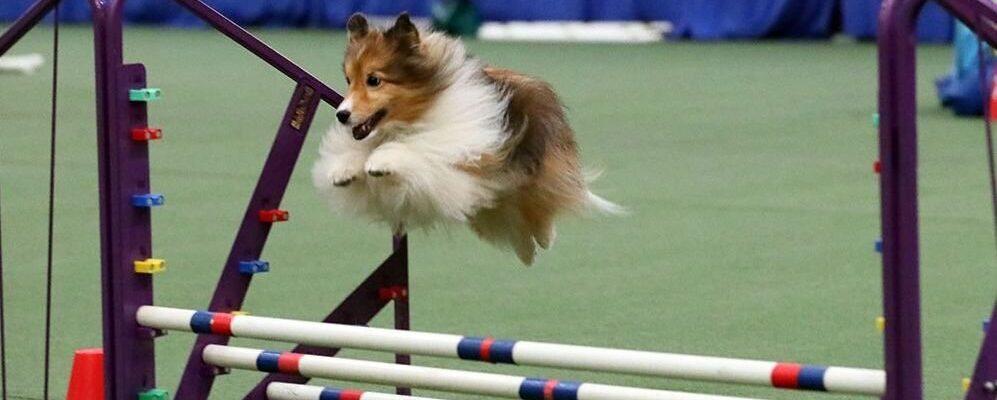 Agility, consejos para iniciar a nuestro perro en el deporte Agility